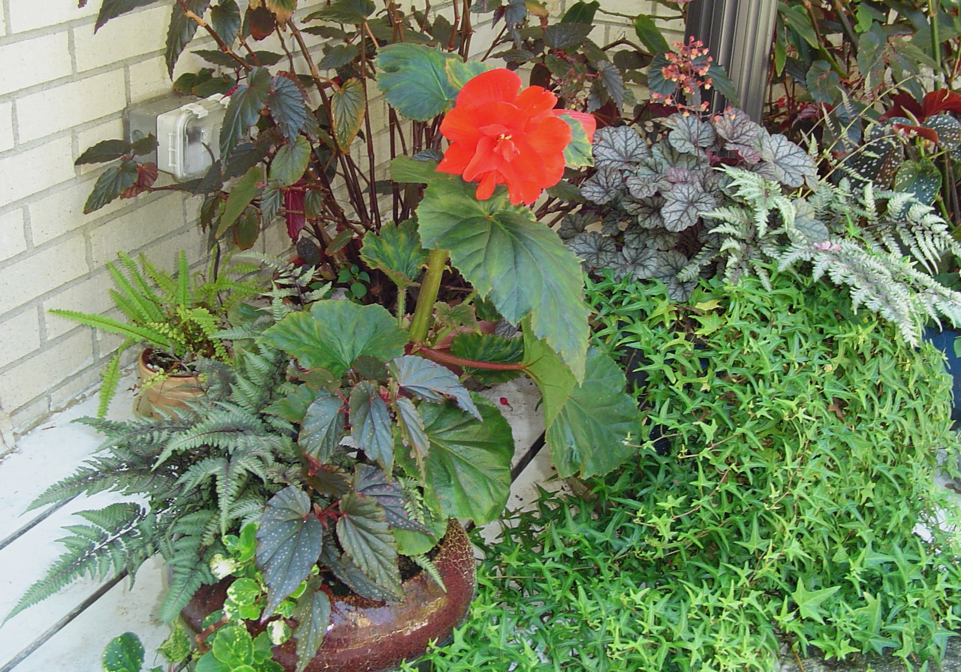 how to take leaf cuttings from begonias
