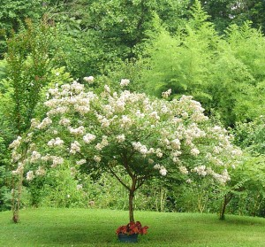 Crepe Myrtle trees bloom July through October and are avoided by deer.