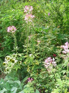 Spiderflower, or Cleome, is beautiful in the garden and attracts butterflies and hummingbirds.