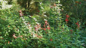 Pineapple sage blooming in late October is a favorite food source for butterflies still in the garden