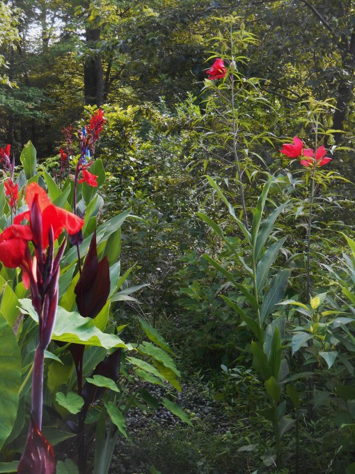 Red Canna flowers and Hibiscus attract both hummingbirds and pollinating insects, including butterflies.