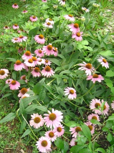 Purple Coneflower, Echinacea, feeds hungry bees and butterflies.