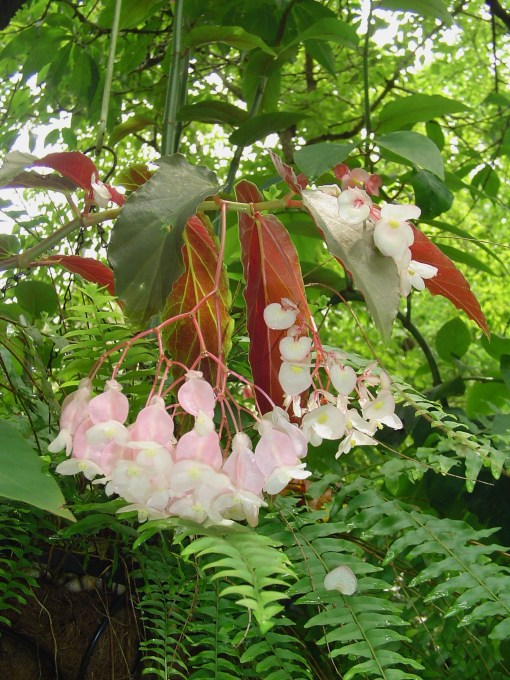 A cane Begonia.
