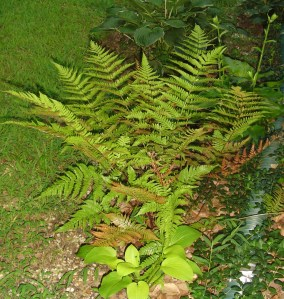 Autumn Brilliance fern produces coppery colored new leaves throughout the season. Here, trying to protect a little Hosta.