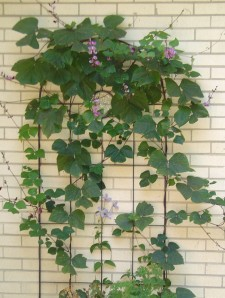 Purple Hyacinth Bean Vine grown with seeds from Monticello.