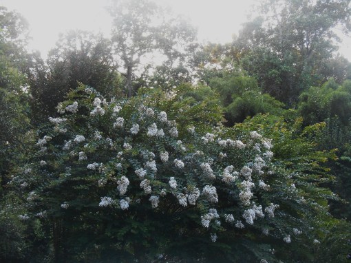 This is one of the many Crepe Myrtle trees growing around our garden.