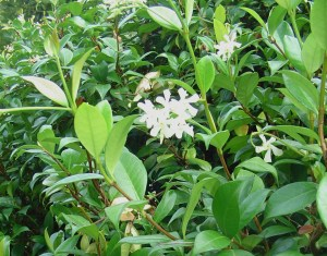 Star Jasmine, also known as Confederate Jasmine, is evergreen, fragrant, and a magnet for butterflies. Very hardy, it grows enthusiastically.
