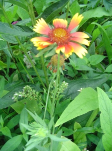 Gaillardia, gift from a friend's garden, growing here with Comfrey.