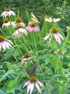 Butterflies enjoy Echinacea growing here with Gaillardia, Comfrey, Pentas, and other herbs.