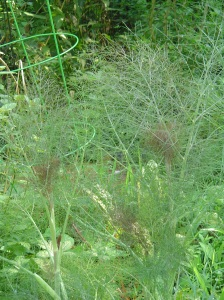 Bronze Fennel is edible, beautiful, and serves as a host plant for a variety of butterflies.