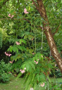 "Begonia, ""Flamingo"" grows very tall canes and blooms in pink.  This one is in its third summer hanging in this peach tree."