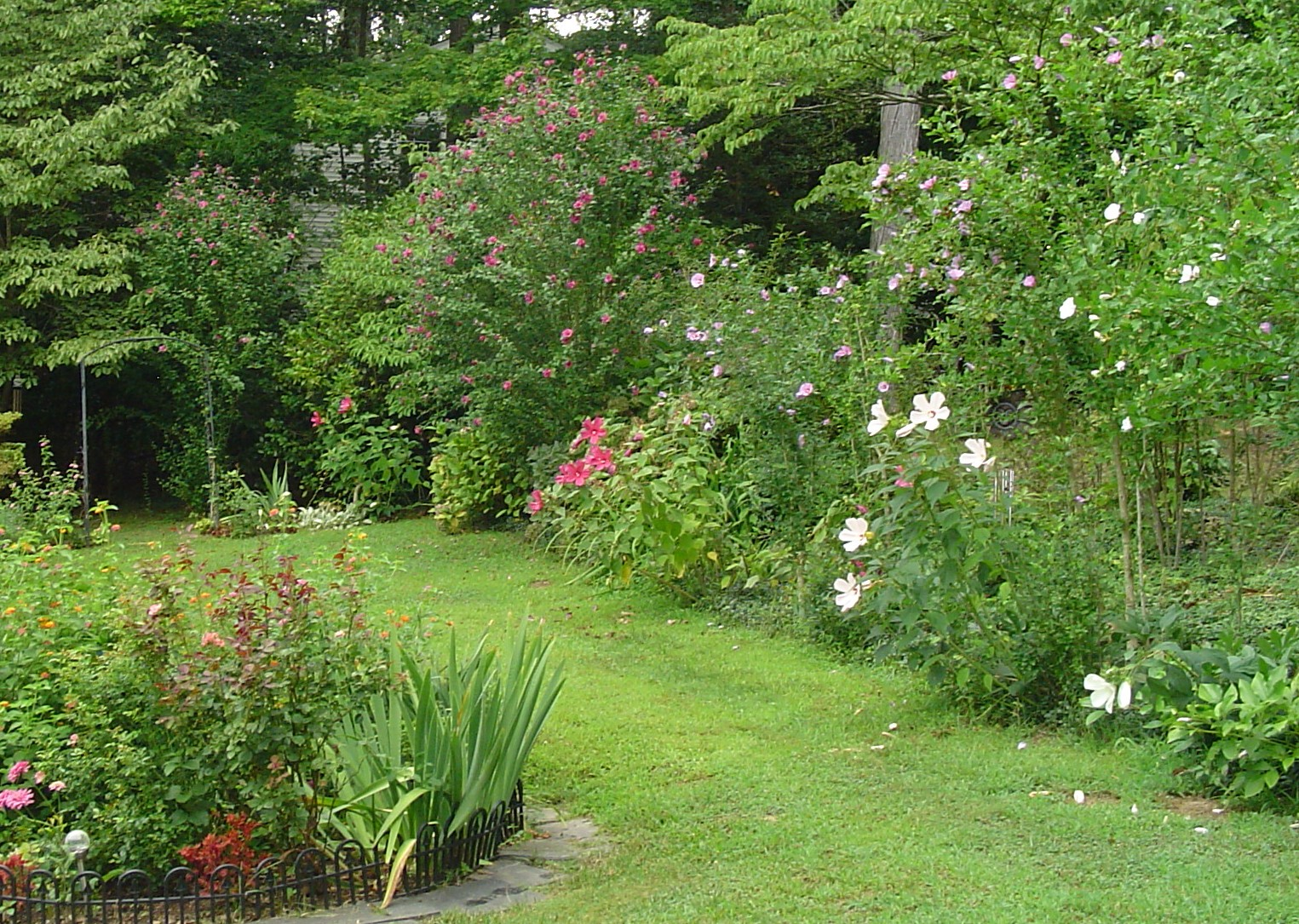 Hardy Hibiscus and Rose of Sharon shrubs dominate this border in late
