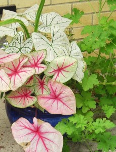 Caladiums are most economical when ordered from FL suppliers in late winter in lots of 25 or more, and then started in shallow pans of soil inside.  Several friends can purchase a quantity to share, dramatically reducing the cost of each plant to just pennies.