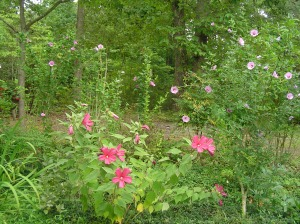 Hardy Hibiscus and Rose of Sharon growing at the edge of the forest.