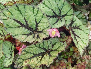 A tiny wasp visits the flower of this Rex Begonia.