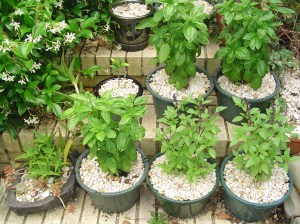 A cutting garden of Basil thrives on the steps in full sun.