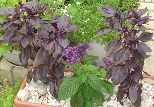 These purple Basil plants could be cut back and each stem rooted to create new plants.