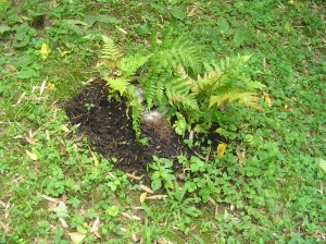 Autumn Brilliance ferns planted in Leaf Grow Soil conditioner packed around a small stump for the beginnings of a new garden in the shade.