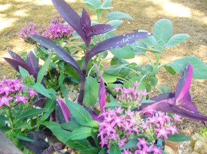 Pentas, Sage, and Purple Heart enjoy full or partial sun.