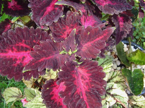 Coleus need regular pinching to remove their bloom stalks. Once they bloom, leaf production suffers.
