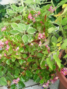 Begonia Semper growing with Plectranthus.