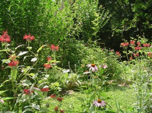 Monarda and conefowers