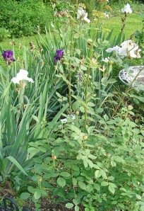 Re-blooming irises will bloom again in late summer, and then continue throwing out blooms through December. They need to grow in an area of full sun to continue blooming.