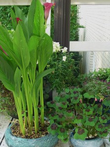 Cannas and Oxalis each enjoy their own pot.  Both of these bulbs multiply rapidly, and can be separated each winter to create new plants in the coming spring.
