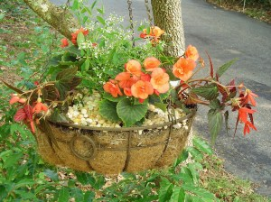 Begonias and Euphorbia grow well in the shade of a Dogwood tree.  The top dressing of pea gravel discourages digging squirrels, and keeps the plants clean when it rains.