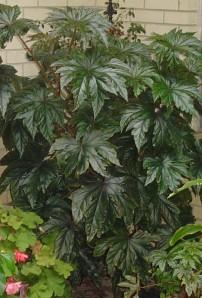 Gryphon Begonia