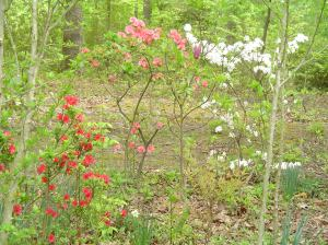 Azaleas badly pruned by hungry deer.