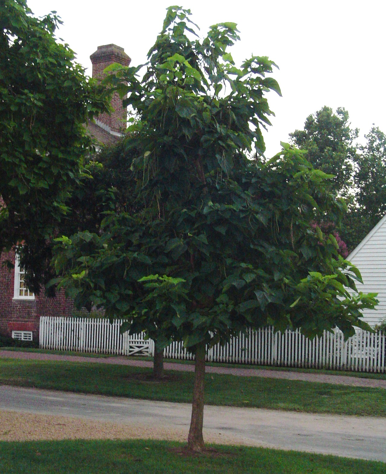Catalpa, or Monkey Cigar tree, on the Palace Green at Colonial Williamsburg. The lawn is lined with Catalpa trees of various ages, and they are absolutely stunning when in bloom.