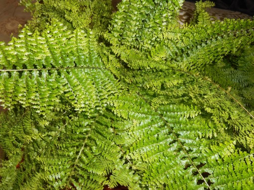 A favorite tender lady fern, living inside with us this winter.