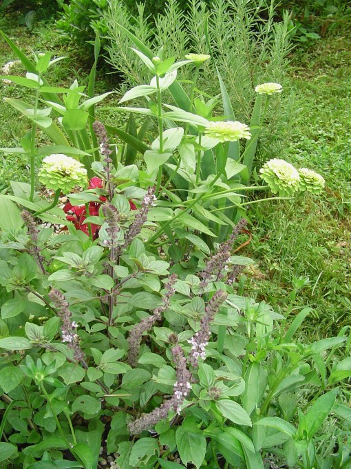 African Blue basil grows into a large shrub which holds its own with Zinnias and Rosemary.