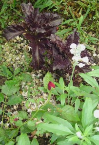 A newly planted Purple Ruffles Basil grows beside a rose and white sage.  Basil grows well beside roses.