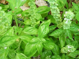 Sweet Basil is commonly found in garden centers.  With a medium size leaf, it is a good to harvest for cooking.