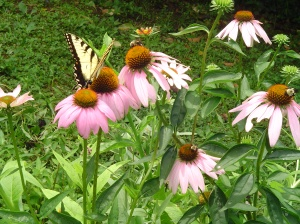 The  Eastern Tiger Swallowtail feeding on purple Coneflowers.