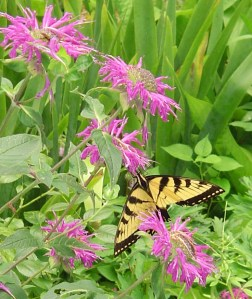 An Eastern  Tiger Swallowtail butterfly on Monarda.