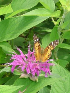 July 12 2013 butterflies 023