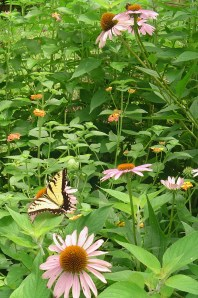 The Eastern Tiger Swallowtail Butterfly enjoying Echinacea, or purple coneflowers and Lantana.