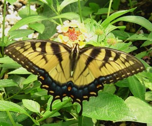 The Eastern Tiger Swallowtail on Lantana