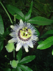 The Passion Fruit vine can grow up to 50' a year and produces edible fruit.  Grown throughout warm climates, this perennial vine is beautiful and productive.