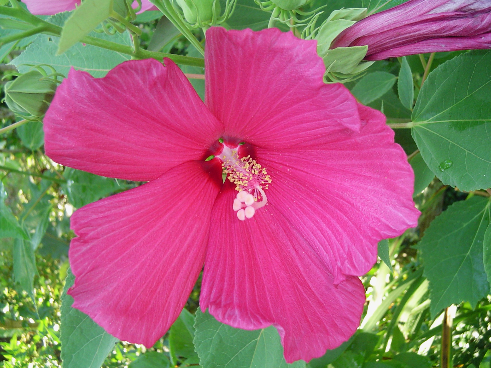 Hardy hibiscus forest garden july 17 hibiscus 002 izmirmasajfo Choice Image