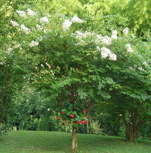 White Crepe Myrtle tree is a popular spot for birds to rest, and provides seeds all winter.