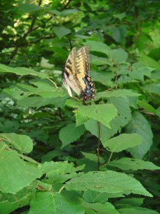 Eastern Tiger Swallowtail on a Hazelnut leaf.  Maybe laying an egg?