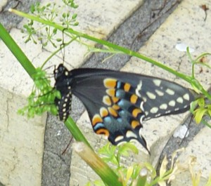Spicebush Swallowtail on Parsley in mid-July