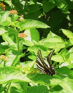 Zebra Swallowtail on Lantana