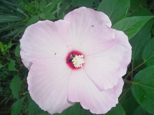 Rose Mallow is a hardy Hibiscus much loved by butterflies and bees.