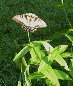 Tiger Swallowtail on a Zinnia