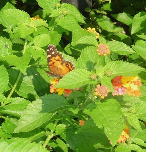 July 25 2013 garden and butterflies 004